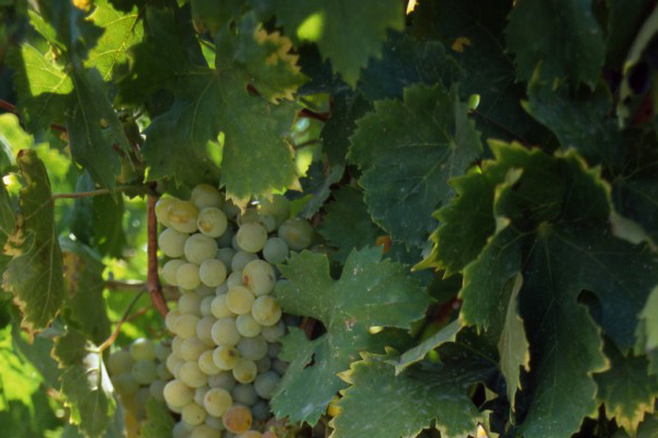 grapes growing Montilla Moriles